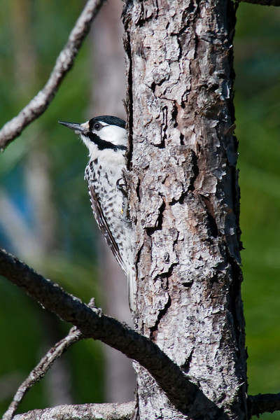 Woodpecker - Red-cockaded - Apalachicola National Forest - FL
