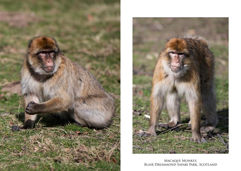 Macaque2.jpg