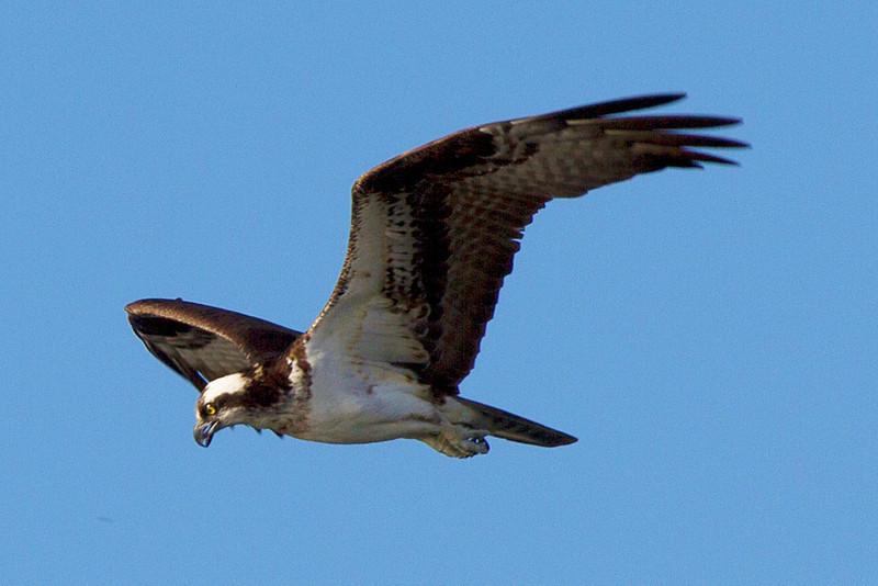ospreyhunting.jpg