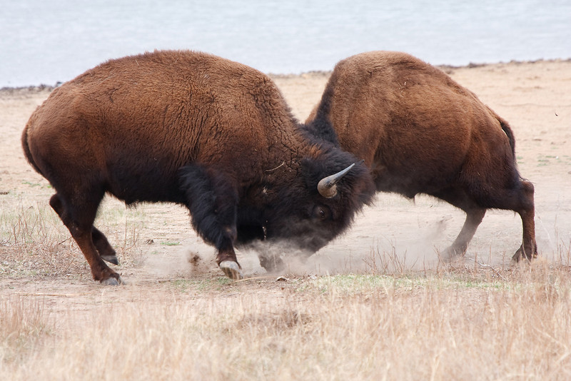 American Bison-14