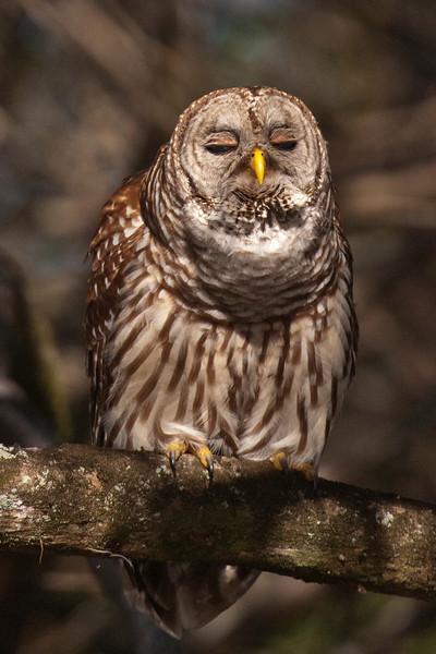 Owl - Barred - hooting - Lake Toho - Kissimmee, FL - 03