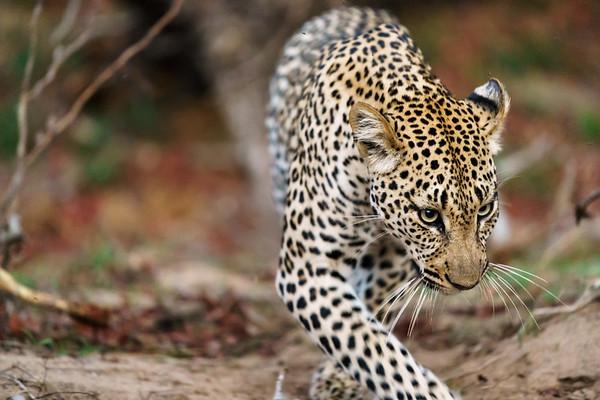 Leopard Hills 2017