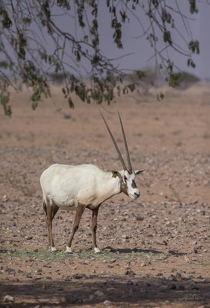 Arabian Oryx (63).jpg