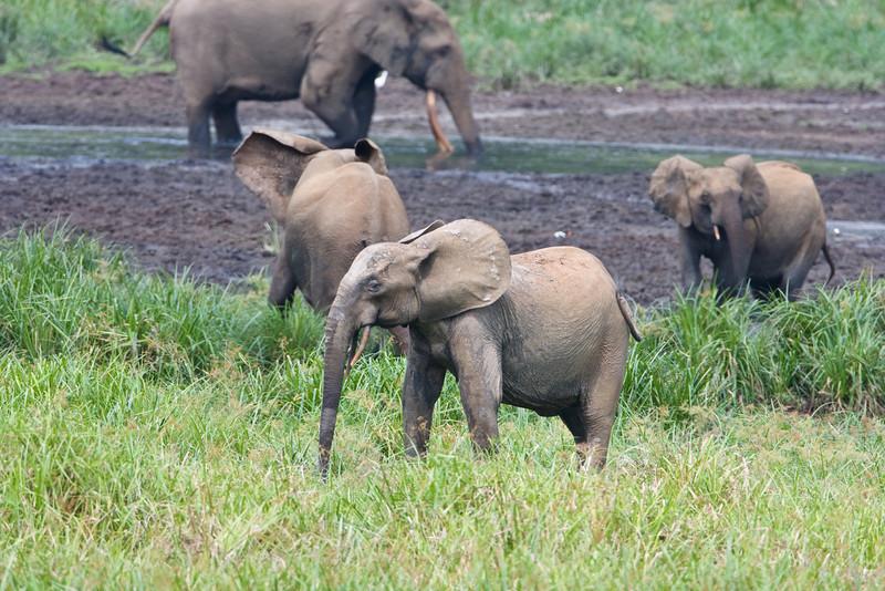 Elephants at Langoue Bai