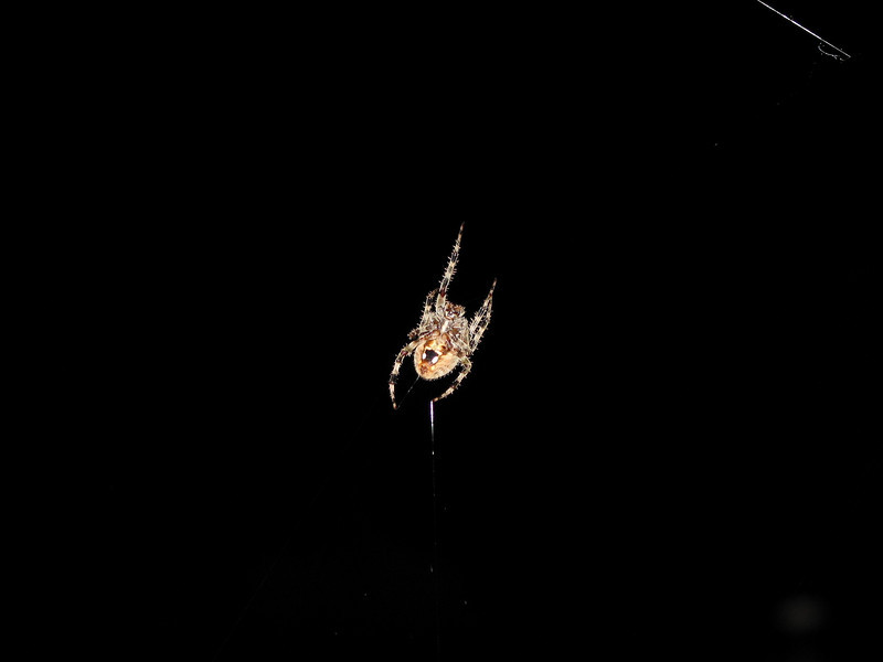 Orb-weaver hunting on the back porch Orb-weaver hunting on the back porch