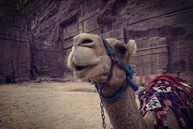 Jordanian camel.jpg
