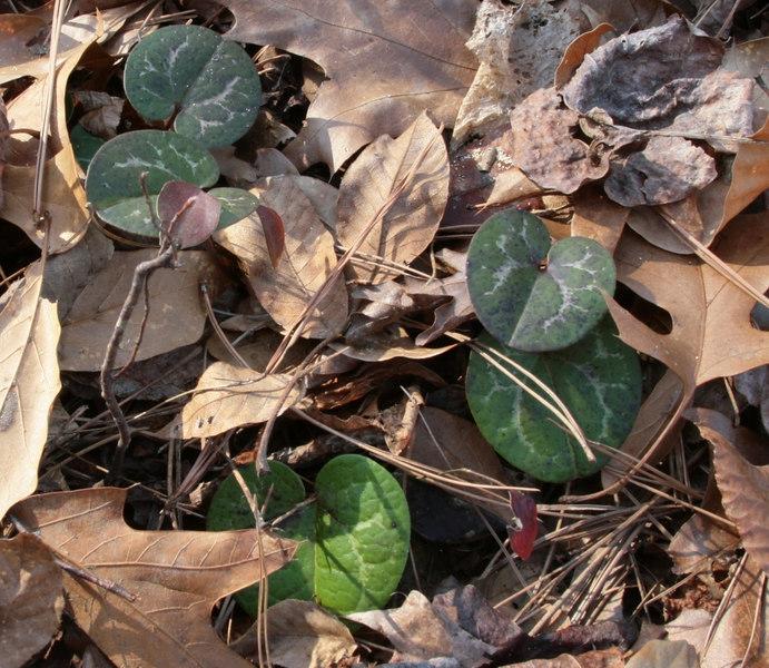 H naniflora foilage.jpg