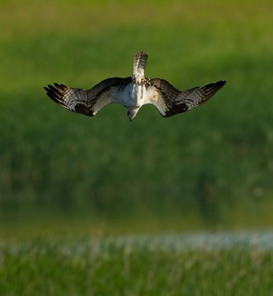 Osprey, Carver Park