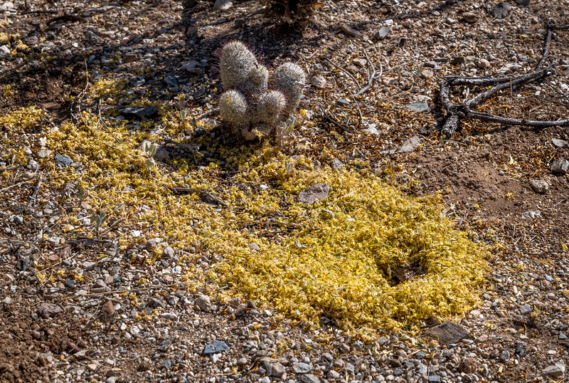 BR - Harvester Ant Hole with Palo Verde Flowers #2