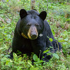 Image of June taken June 2013.  June was born in 2001. Ursus americanus (American Black Bear).