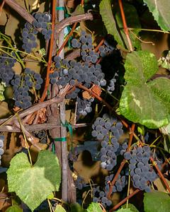 Fredonia Grape - Vitis labrusca