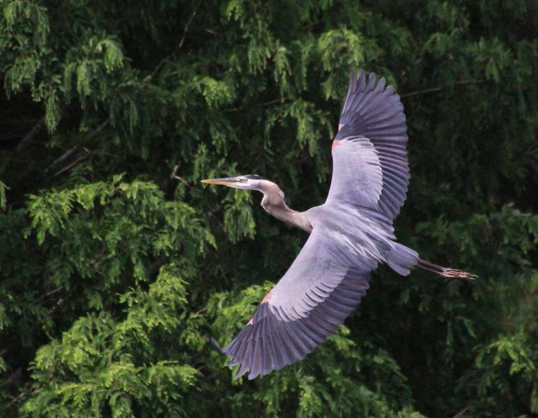 great blue heron 7.jpg