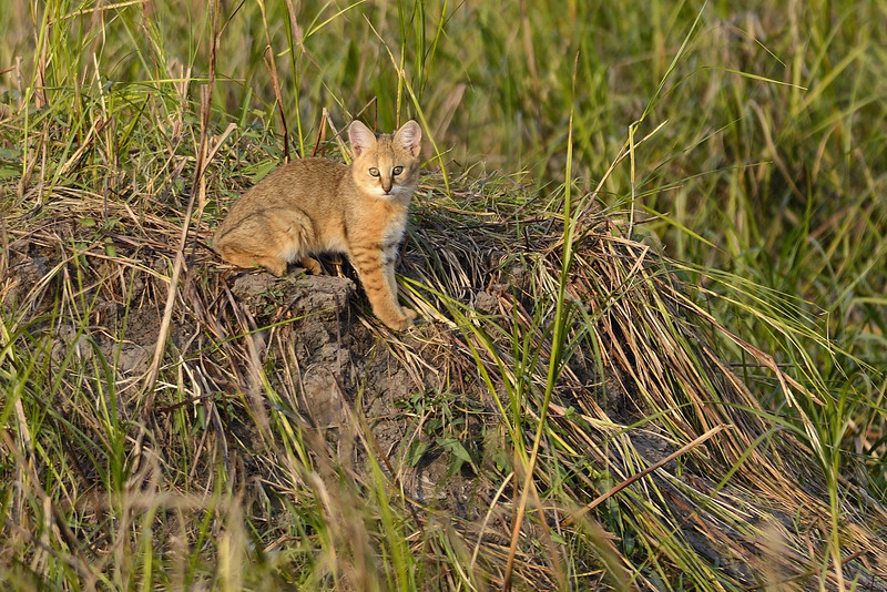 Jungle Cat Kitten.....