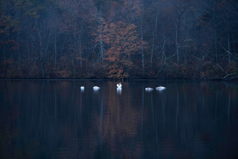_V851000 swan lake five.jpg