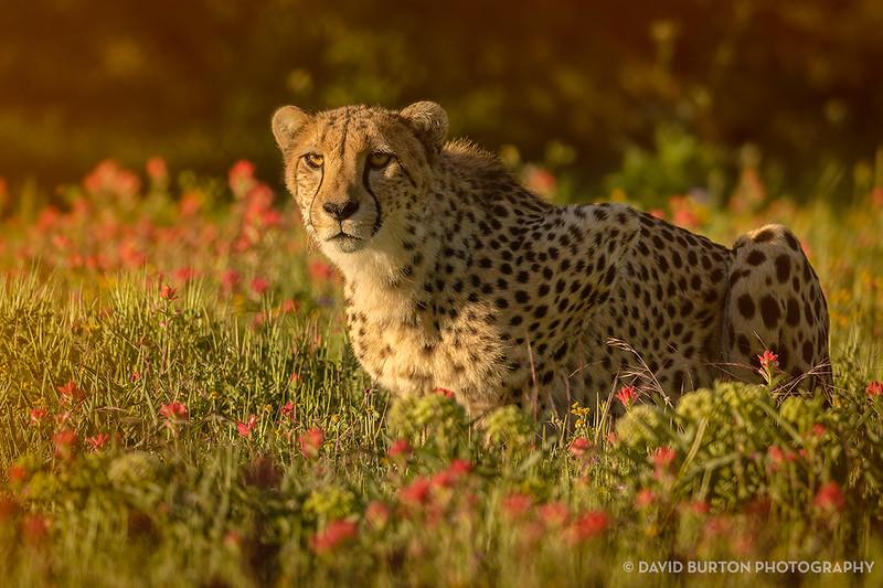 FR_Cheetah_n_flowers_3023cc2fx-web.jpg