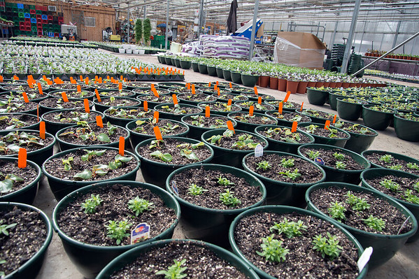 02/28/20 Wesley Bunnell | Staff Images from inside one of Karabin Farms greenhouses on Friday Feb 28, 2020 which contains the first plantings of the season.
