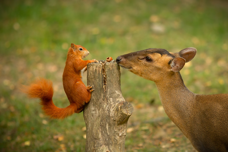 2020 - Red Squirrel 013