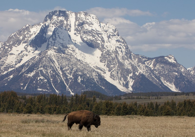 bison&tetons 130.jpg