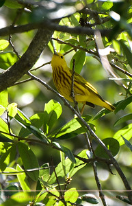 Yellow Warbler with a tasty Mosquito in its beak