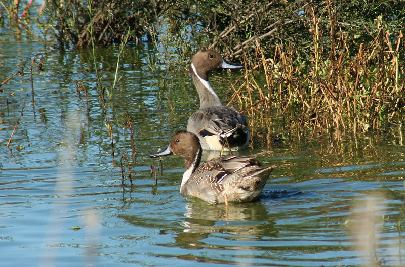 Northern Pintails.JPG