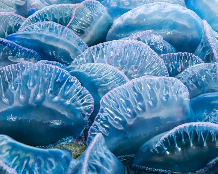 Man-o-War jellyfish