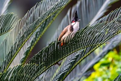 Red-whiskered Bulbul [Pycnonotus jocosus]