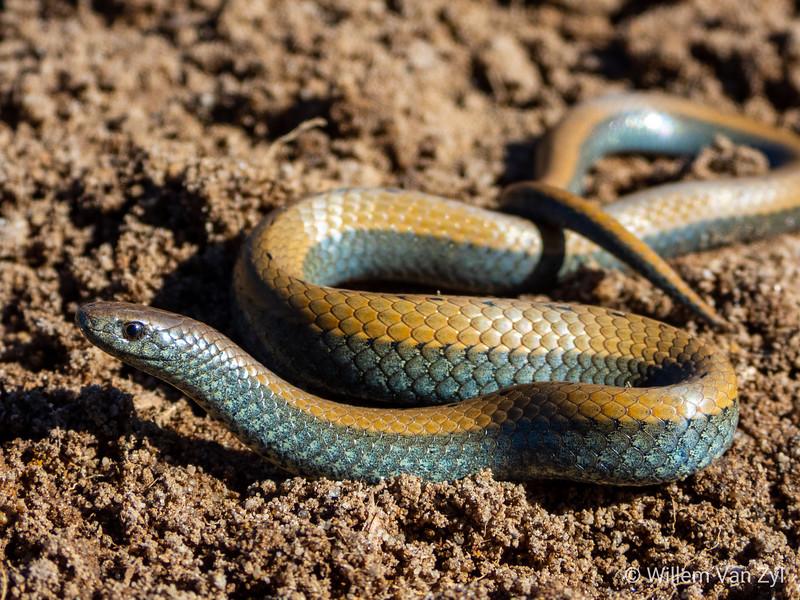 20190726 Common Slug-Eater (Duberria lutrix) from Milnerton, Western Cape