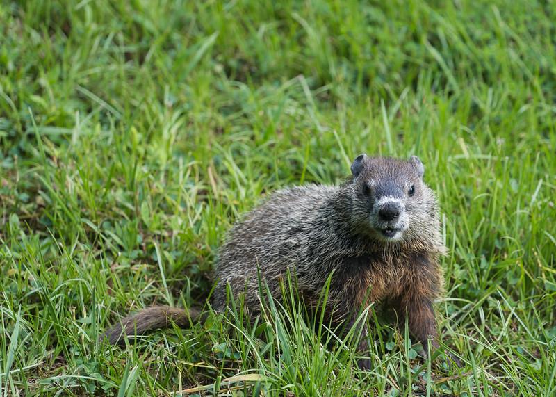 20180713-Groundhog122 Full Size.jpg