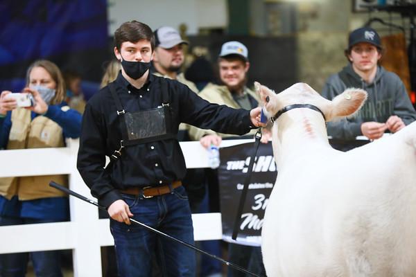 Charolais Heifer Ring Shots