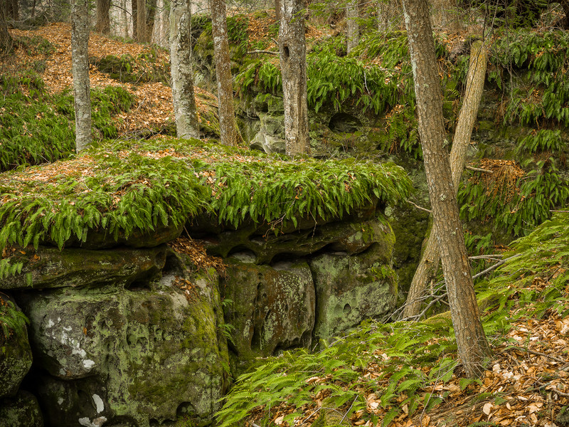 Forest Detail in Beartown State Park WV