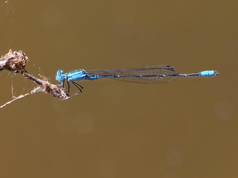 Slender Bluet (Enallagma traviatum), male