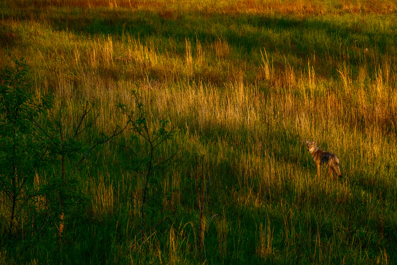 Coyote early morning.jpg