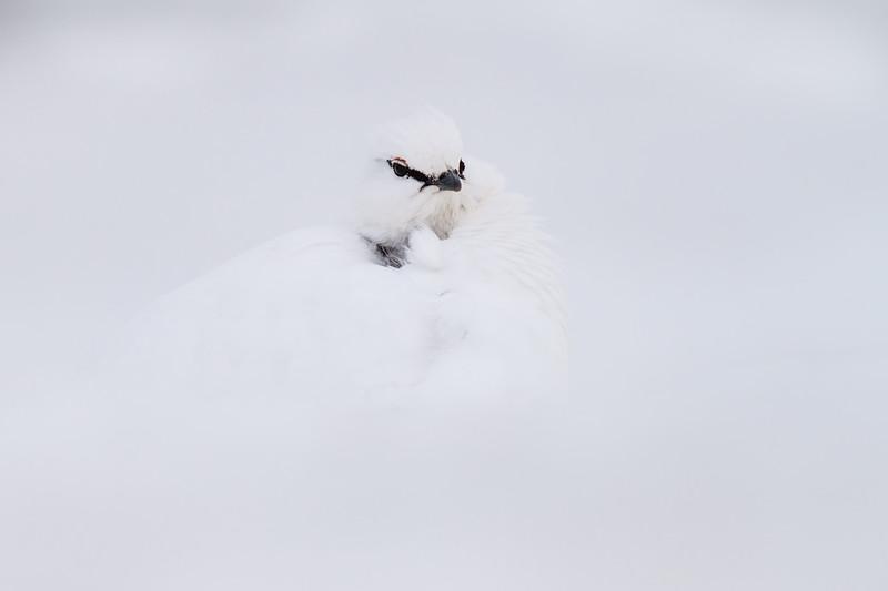 Svalbard rock ptarmigan (Lagopus muta)