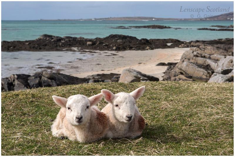 Eriskay lambs