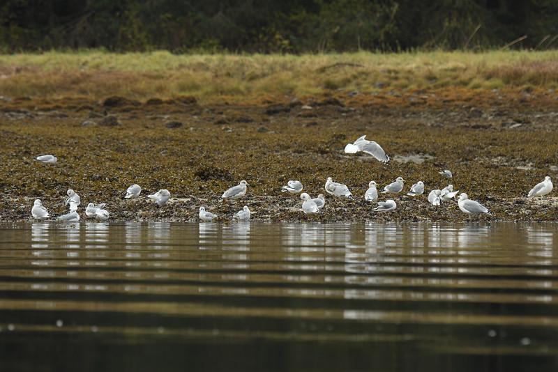 Gulls on the shoreline