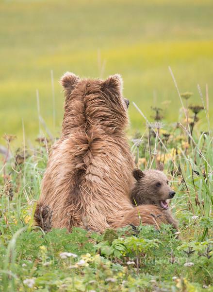 Grizzlies of Coastal Alaska