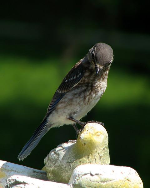 bluebird_fledgling_2941.jpg