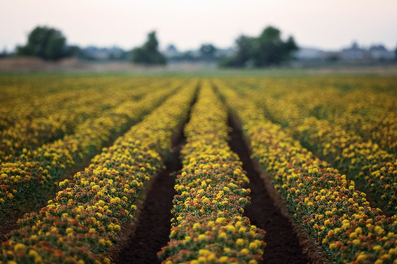 safflowers-in-a-row.jpg