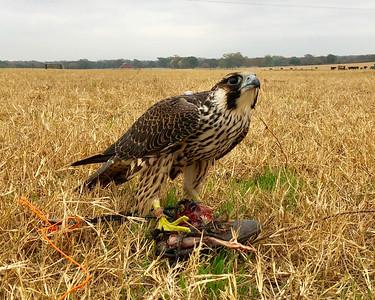 Artemis - Wild Trapped Peregrine Falcon