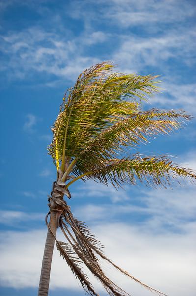 Hawaii Palms 5