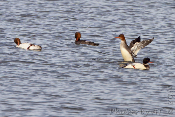 2011-12-18 Riverlands Migratory Bird Sanctuary