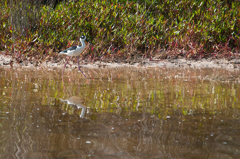 Black-necked Stilt at Ding Darling Bailey Tract