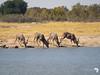 Male Kudu at the waterhole
