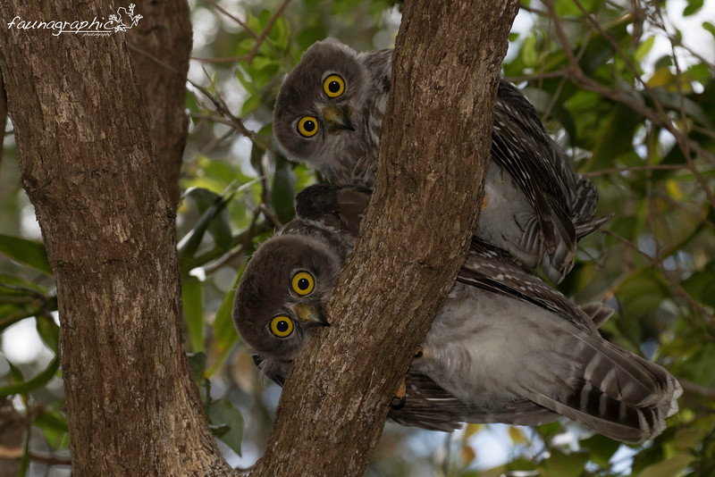 Barking Owls - Juvenile