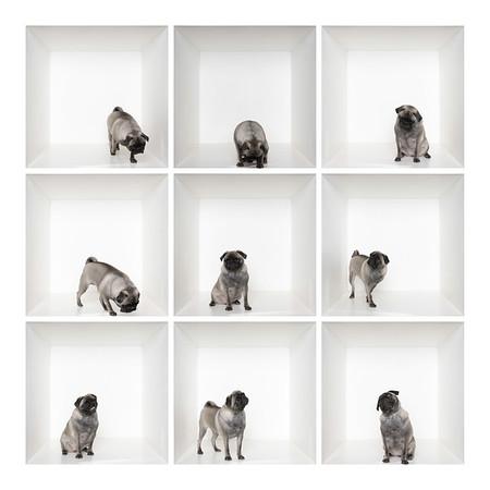 Pug Dog Welfare and Rescue Association UK