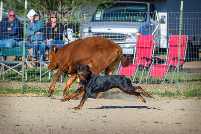 ARC National Speciality Herding Test & Trial 2017