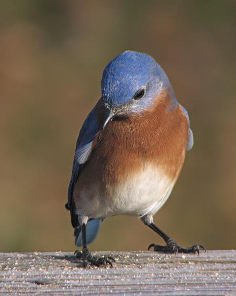 bluebird_8325.jpg