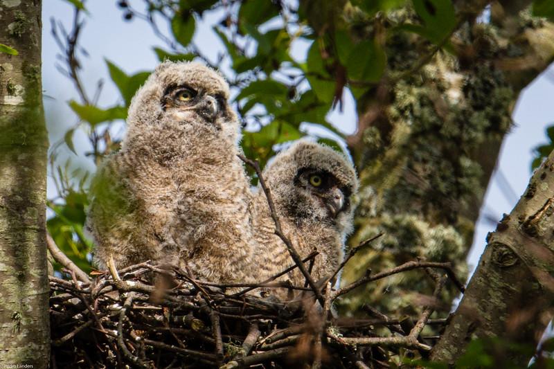 Great Horned Owlets 01.jpg