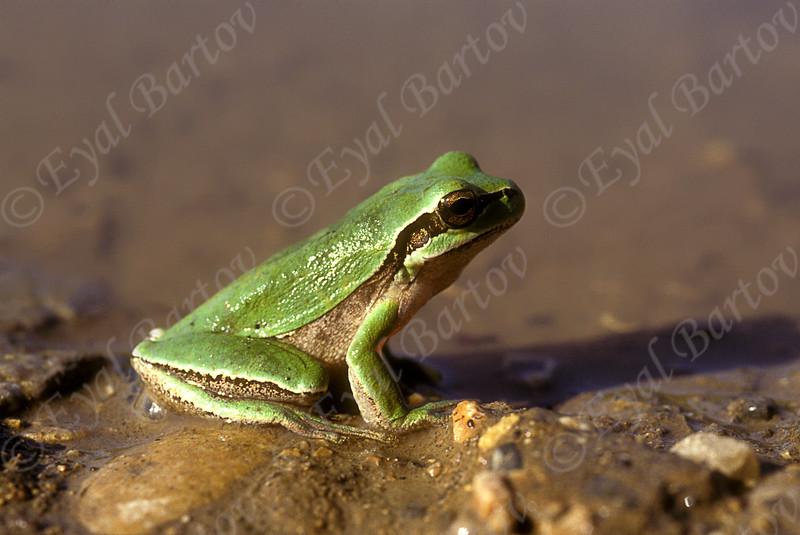 Middle East tree frog -Hyla savignyi - אילנית מצויה