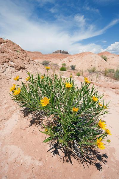 Desert Flower, Goblin Valley